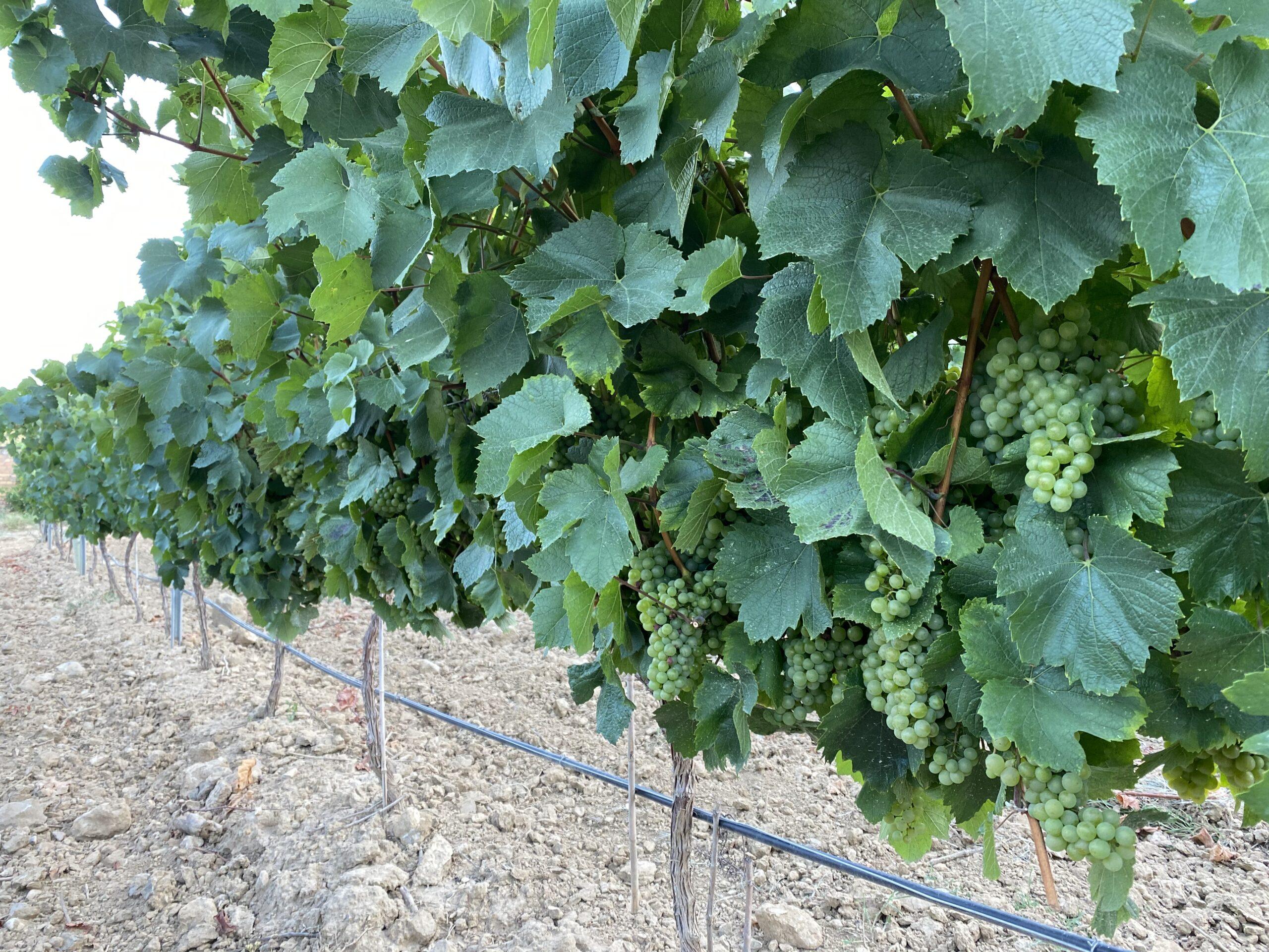 DOP Somontano inicia la vendimia 2020 - Uva Chardonnay