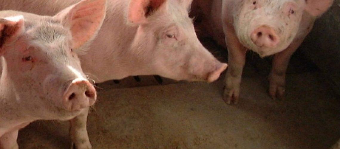 Porcino de Teruel