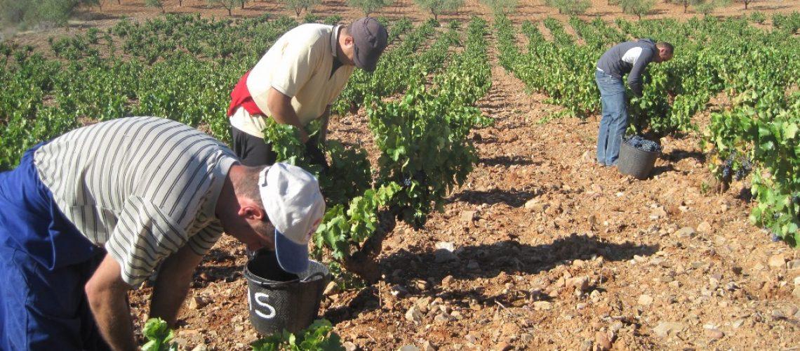 Los vendimiadores recogen uva en la DOP Calatayud